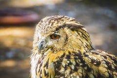 Bubo, härlig uggla med intensiva ögon och härlig fjäderdräkt Arkivbild
