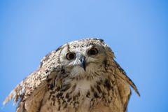 Bubo bubo - Real owl. Front view Royalty Free Stock Image