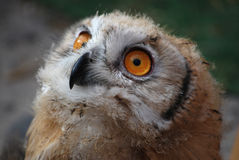 Bubo scandiacus Royalty Free Stock Photo