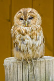 Bubo - Sleeping Owl In The Zoo Stock Photos