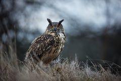Bubo Bubo Uil in het natuurlijke milieu Wilde aard stock foto's