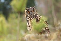 Bubo Bubo Uil in het natuurlijke milieu Wilde aard stock foto