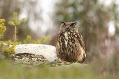 Bubo Bubo Uil in het natuurlijke milieu Wilde aard stock fotografie
