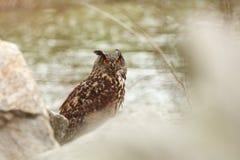 Bubo Bubo Uil in het natuurlijke milieu Wilde aard royalty-vrije stock fotografie