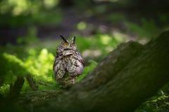 Bubo Bubo Uil in het natuurlijke milieu Wilde aard royalty-vrije stock afbeeldingen
