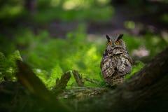 Bubo Bubo Uil in het natuurlijke milieu Wilde aard royalty-vrije stock afbeelding
