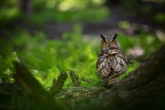 Bubo Bubo Uil in het natuurlijke milieu Wilde aard royalty-vrije stock foto