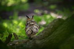 Bubo Bubo Uil in het natuurlijke milieu Wilde aard stock afbeeldingen