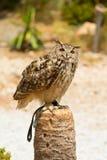 Bubo van Eagle Owl - Bubo- stock afbeelding