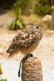 Bubo van Eagle Owl - Bubo- royalty-vrije stock afbeelding