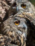 Bubo van twee uilenbubo met gele ogen royalty-vrije stock fotografie