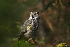 Bubo virginianus. Beautiful owl. He lives in North America. Autumn colors in the photo. Protected bird Stock Photos