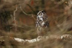 Bubo virginianus. Beautiful owl. He lives in North America. Autumn colors in the photo. Protected bird Stock Photography