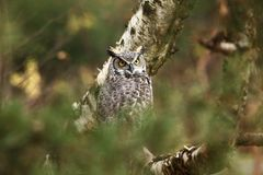 Bubo virginianus. Beautiful owl. He lives in North America. Autumn colors in the photo. Protected bird Stock Image