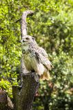 Bubo virginianus, great horned owl Royalty Free Stock Image