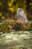Bubo virginianus sitting on the ground. Bubo virginianus - owl sitting on the ground into forest at autumn Stock Photography