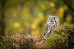Bubo virginianus sitting on the ground. Bubo virginianus - owl sitting on the ground into forest at autumn Stock Image