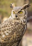 Bubo virginianus virginianus. Owl in the wild Royalty Free Stock Photo