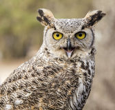 Bubo virginianus virginianus - Owl Royalty Free Stock Images