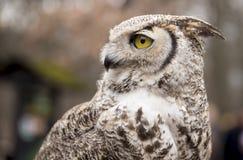 Bubo virginianus virginianus - Owl Royalty Free Stock Photo