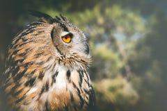 Bubububo, европейский сыч орла Стоковые Фото