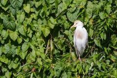 bubulcus牛白鹭IBIS 库存照片