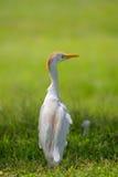 bubulcus bydła egret ibis Obrazy Royalty Free