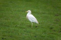 bubulcus bydła egret ibis Zdjęcia Royalty Free