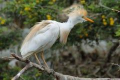 bubulcus bydło egret ibis obraz stock