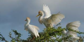bubulcus bydło egret ibis Obrazy Royalty Free