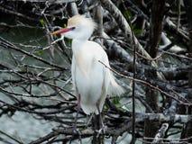 bubulcus bydło egret ibis Zdjęcia Stock