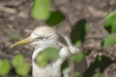 Bubulcus ibis †Egret скотин « Стоковые Изображения