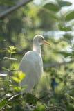 Bubulcus ibis †Egret скотин « Стоковое Изображение