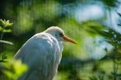Bubulcus ibis †Egret скотин « Стоковые Изображения RF