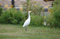 Bubulcus ibis Royalty Free Stock Photo