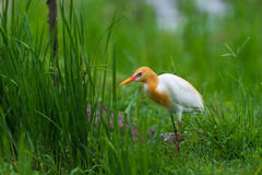 Bubulcus ibis bird. Bubulcus ibis bird in in the bright green grass and hunting for grass Stock Photography