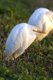 Bubulcus ibis, cattle egret Royalty Free Stock Photography
