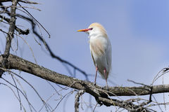 Bubulcus ibis, cattle egret Royalty Free Stock Images