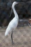 Bubulcus ibis. Cattle egret. Bird Stock Images