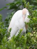 Bubulcus ibis, cattle egret. In a tree Stock Images