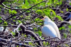 Bubulcus ibis, Cattle egret Stock Photography
