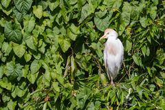 Bubulcus ibis, cattle egret. In a tree Stock Photo