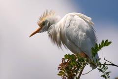 Bubulcus ibis dell'airone guardabuoi che si siede su un ramo contro il cielo Immagini Stock