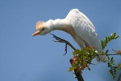 Bubulcus ibis dell'airone guardabuoi che si siede su un ramo contro il cielo Fotografie Stock