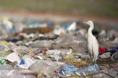 Bubulcus ibis dell'airone guardabuoi nei rifiuti immagine stock