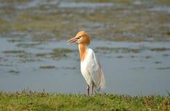 Bubulcus ibis dell'airone guardabuoi nella stagione riproduttiva Immagine Stock