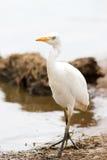 Bubulcus ibis dell'uccello dell'airone guardabuoi immagini stock