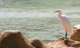 Bubulcus ibis Egitto fotografie stock libere da diritti