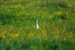 Bubulcus ibis Egret скотин в зеленой траве Стоковое Изображение RF