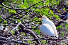 Bubulcus ibis, egret скотин Стоковая Фотография